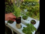 Aeroponic Chives in Garden