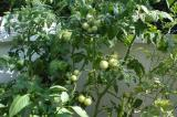 Hydroponic Tomatoes!